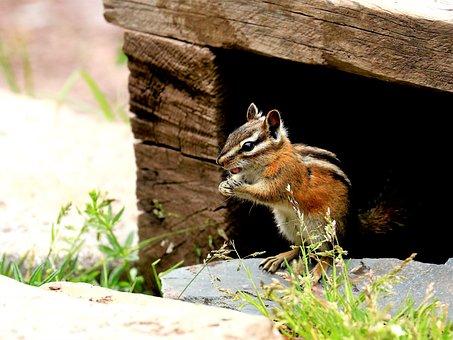 Chipmunk, Nature, Wildlife, Squirrel, Outdoors, Rodent