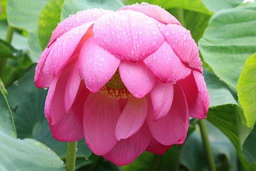 Lotus, Gwangokji, Summer, Pink Flower, A Rainy Day