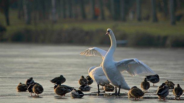 Swan, Duck, Majestic, Pond, Animals, White Swan