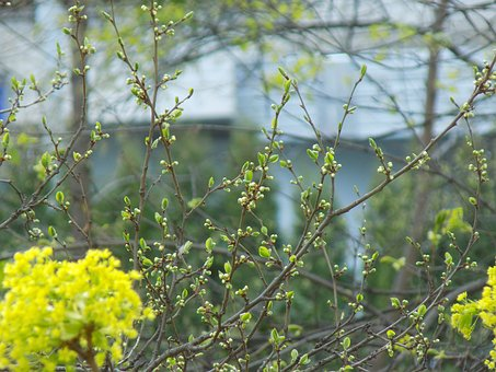 Spring, Kidney, Branch, Nature, Young Foliage
