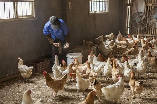 Poultry, Bird, Livestock, People, Group(abstract)