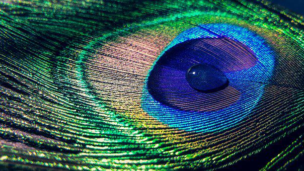 Feather, Water Drop, Colourful, Peacock Feathers