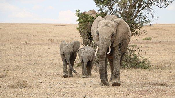 Safari, Elephant, Mammal, Wildlife, Animal, Baby, Kids