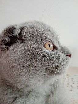 Cat, Scottish Fold, Lilac, Public Record, Animals
