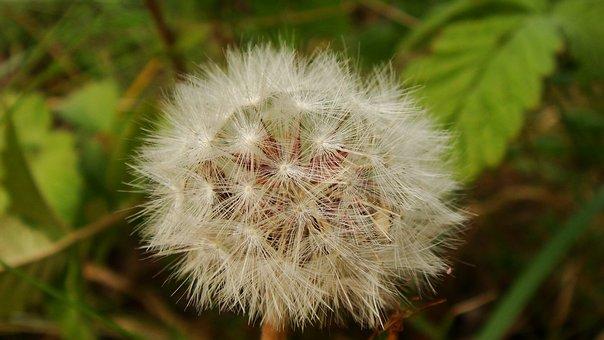 Nature, Flora, Dandelion, Downy, Outdoors