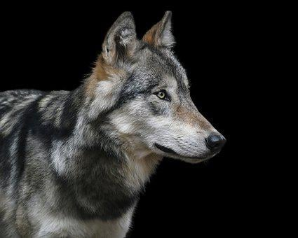 Wolf, Portrait, Black Background, Predator, Carnivore