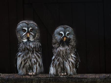 Owls, Owl, Birds, Bird Portrait, Raptor, Feather