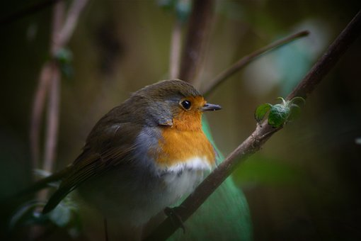 Bird, Animal World, Nature, Robin, Poultry, Animal