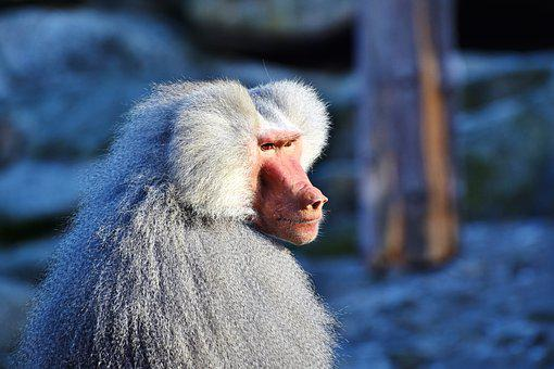 Baboon, Monkey, Primate, Creature, Grey, Animal, Nature