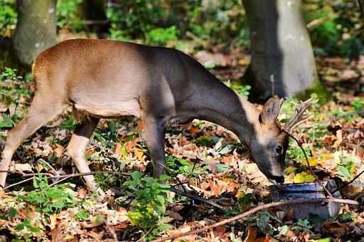 Hirsch, Roe Deer, Doe, Forest, Wild Animal, Damm Wild