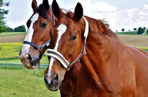 Horses, For Two, Coupling, Stallion, Eat, Paddock