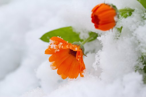 Leaf, Nature, Flower, Closeup, Cold, Winter, Epicure