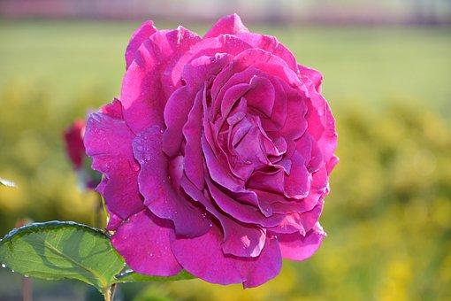 Flower, Rose, Plant, Petals, Nature, Garden, Pink Roses