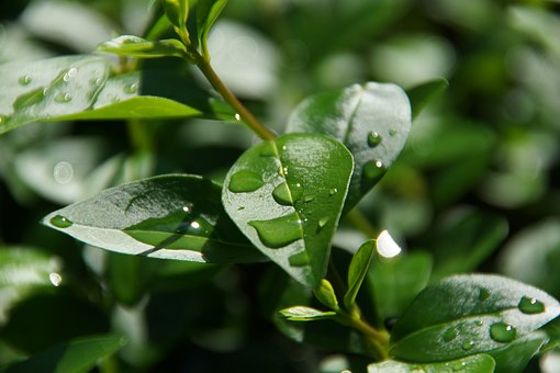 Leaf, Plants, Nature, Leading, Pearl Of Great Price