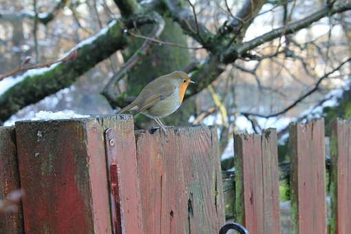 Bird, Robin, Nature, Wood, Tree, Outdoors, Christmas