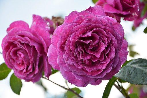Flower, Nature, Plant, Rose, Garden, Pink Roses, Pink