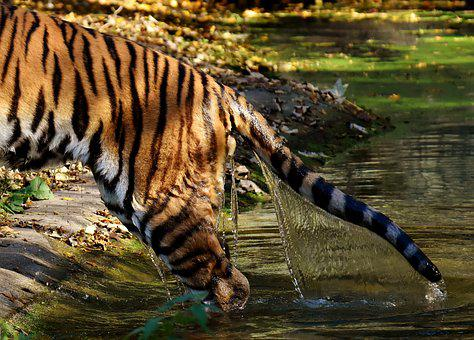 Tiger, Predator, Water, Rump, Tail, Fur, Beautiful