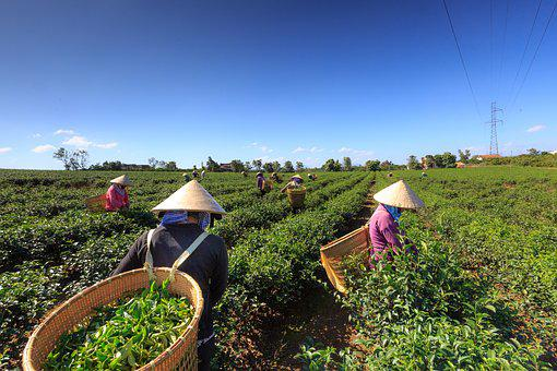 Tea, Green, Planting, The Tradition, Workers, Farm