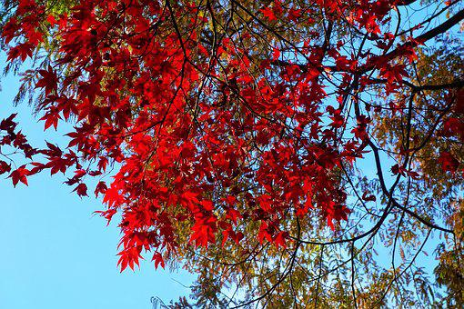 Tree, Branch, Autumn Foliage, Autumn Leaves, Red Leaves