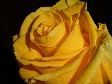 Rose, Blossom, Bloom, Yellow, Romance