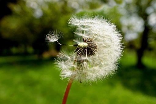 Nature, Dandelion, Plant, Summer, Seeds, Close