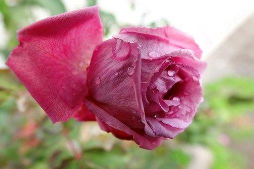 Flower, Nature, Plant, Rose, Petal, Close