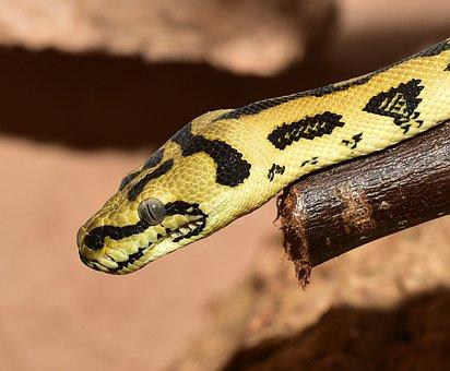 Snake, Reptile, Animal World, Python, Constrictor