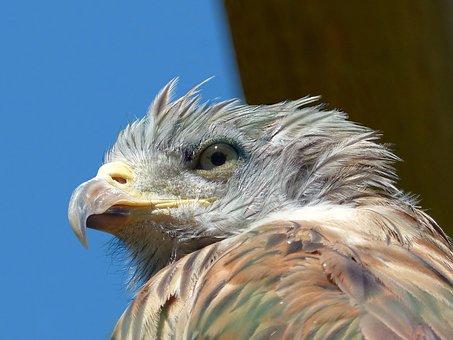 Eagle, Young, Portrait, Raptor, Bird, Pen, Animal