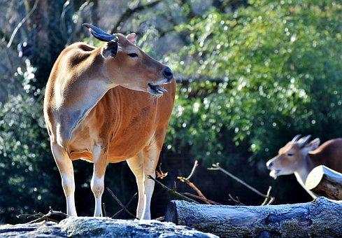 Banteng, Beef, Wild, Kuhschnauze, Cow, Wild Animal