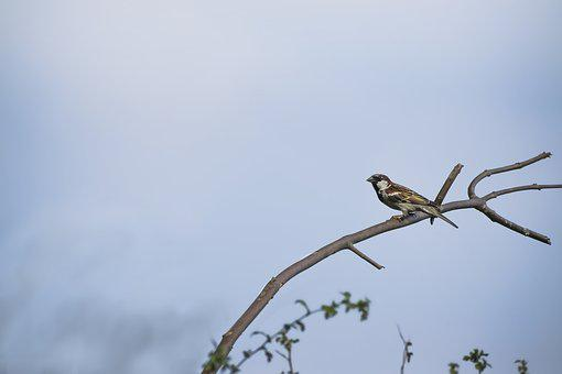 Sparrow, Bird, Wildlife, Avian, White, Outdoor