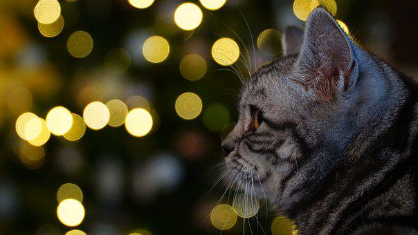 Animal, Christmas, Cat, Pet, Winter, Christmas Time