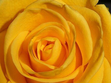 Rose, Blossom, Bloom, Yellow, Close