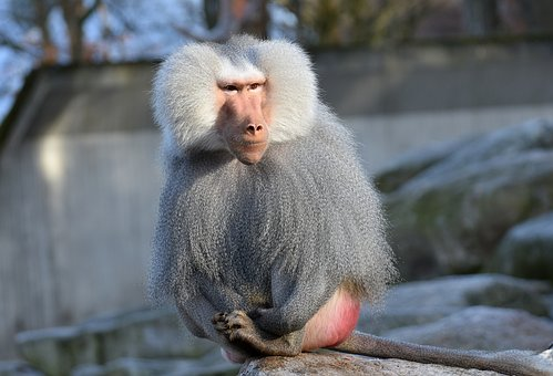 Baboon, Monkey, Smooch, Tender, Pair, Zoo, Animal