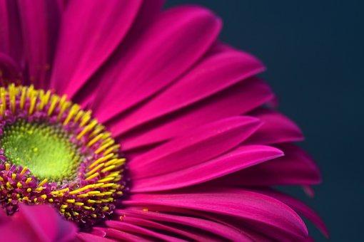 Gerbera, Pink, Blossom, Bloom, Close, Pollen, Bright