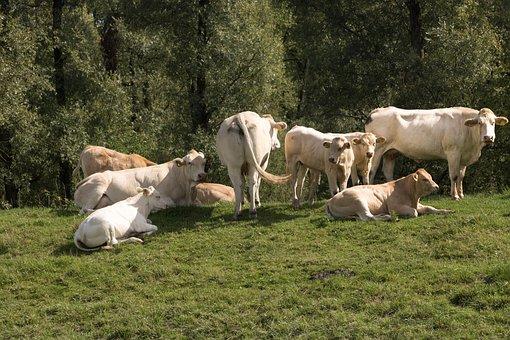 Farm, Cattle, Beef, Biesbosch