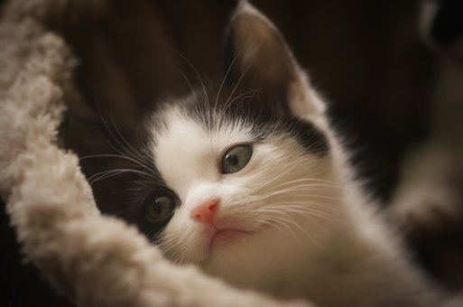Cute, Animal, Fur, Mammal, Cat, Kitten, Pet