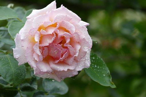 Flower, Leaf, Plant, Rose, Nature, Flowers
