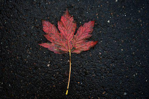 No Person, Nature, Sheet, Autumn, Outdoor, Red Leaf
