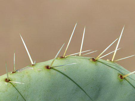 Cactus, Long Thorns, Close Up, Nature, Plant, Wallpaper