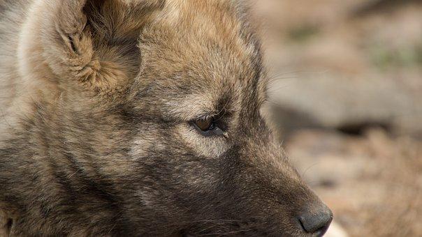Puppy, Dog, Sled Dog, Greenland, Summer, Animal