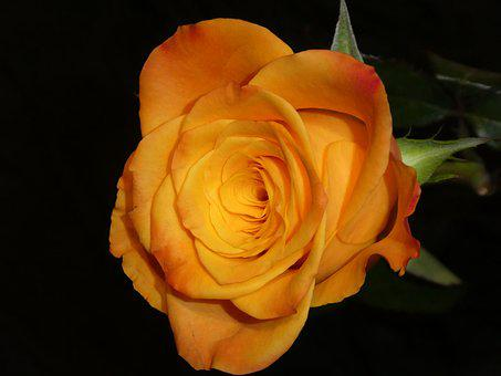 Rose, Close, Blossom, Bloom, Yellow, Orange