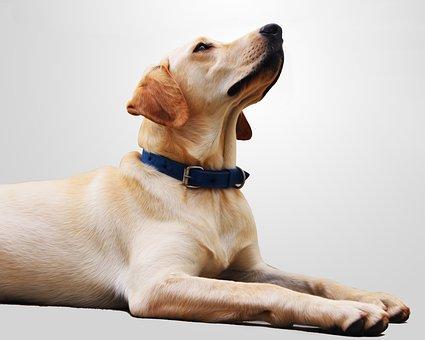 Wallpaper, Background, Dog, Pet, Animal, Canine