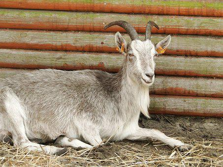 Mammals, Animals, Goat, Nature, National