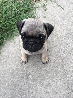 Dog, Cute, Pet, Puppy, Canine, Pedigree, Whelp, Young