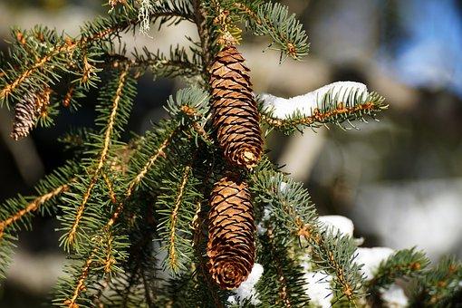 Winter, Tree, Christmas, Pine, Fir, Needle, Periwinkle