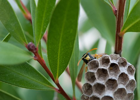 Wasp, Nest, Cuckoo, Small Insect, Insect, Nature