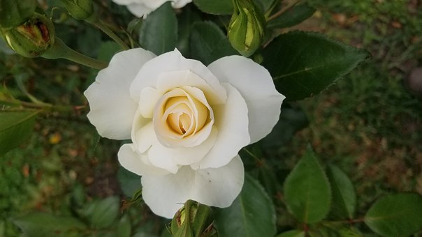 Flower, Leaf, Nature, Flora, Petal, Rose, White