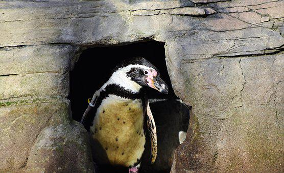 Penguin, Bird, Water Bird, Cave, Nesting Place, Shelter