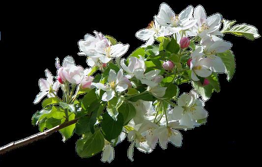 Blossom, Bloom, Apple Blossom, Spring, Apple Tree