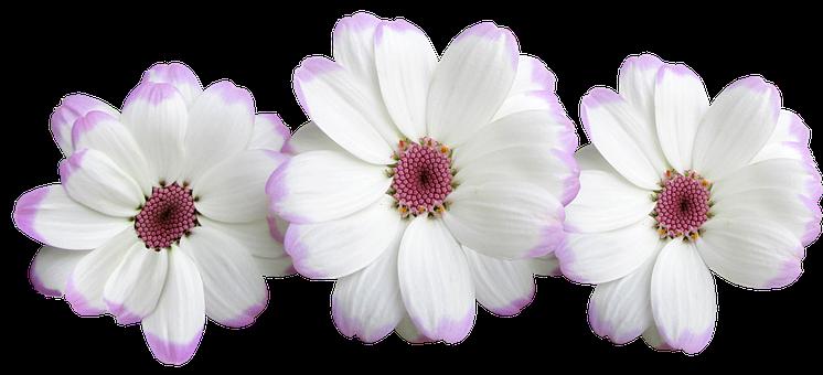 Flowers, White, Decoration, Floral